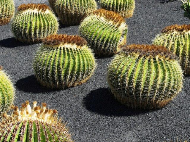 Gran variedad de Cáctus en el jardín del Cactus en Lanzarote